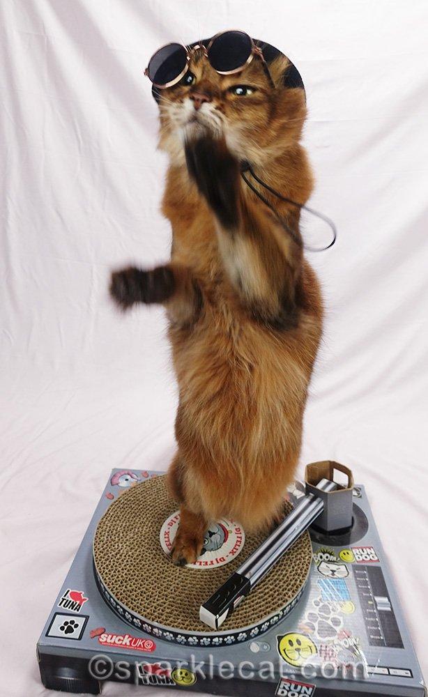 somali cat DJ on hind legs on turntable