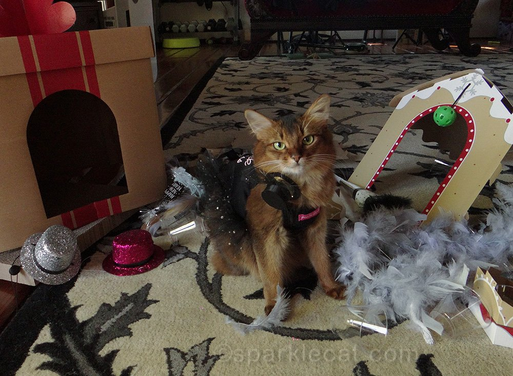 Somali cat the morning after a New Year's Eve Party