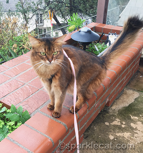 somali cat out on patio during a pause in the rainstorm