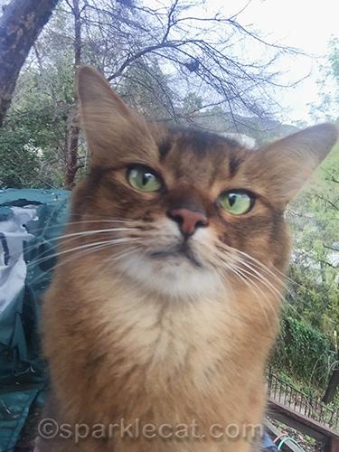 somali cat in a sideways look selfie
