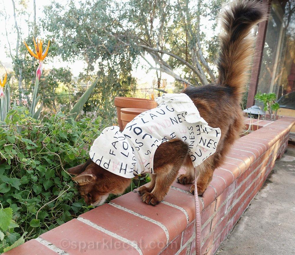 somali cat checking up on catnip garden