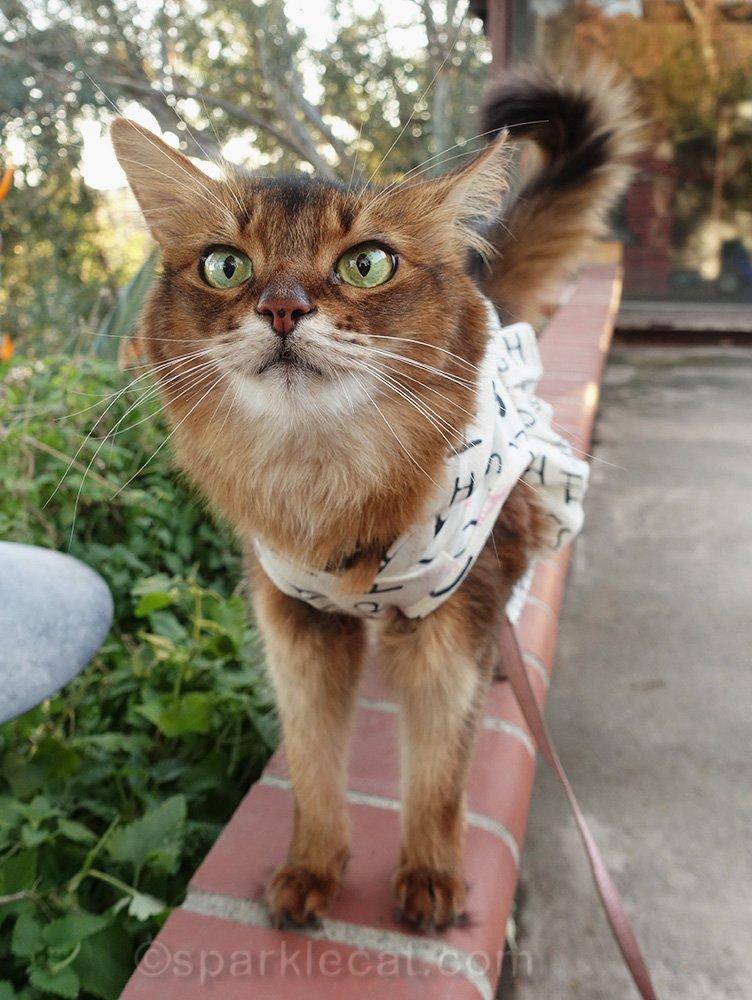 somali cat a little high from catnip