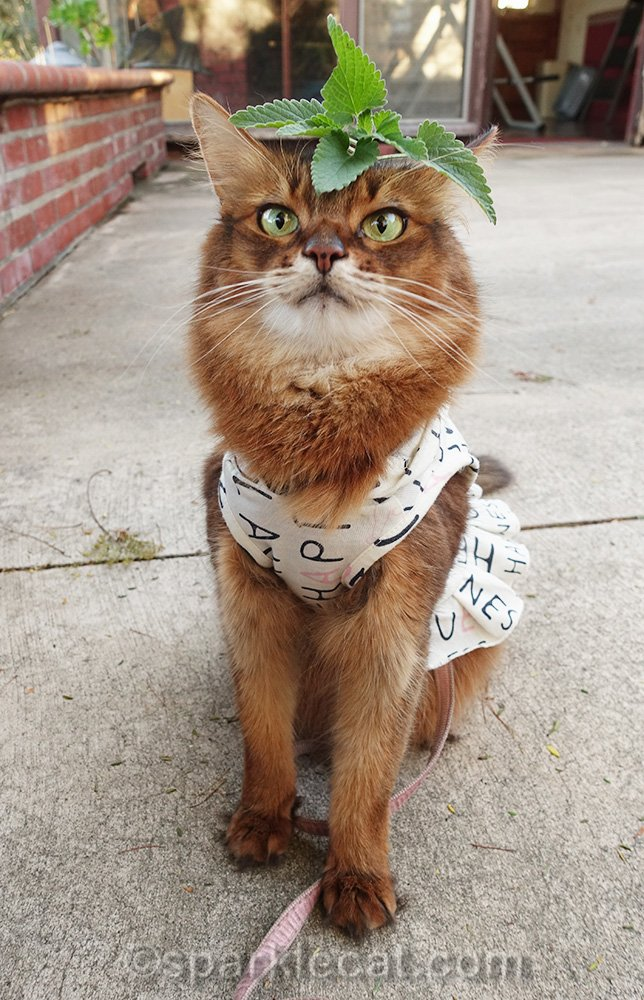 somali cat with sprig of catnip on her head.