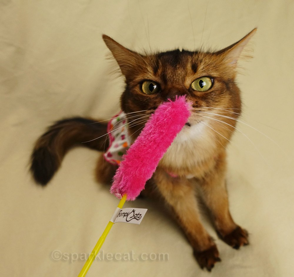 silly photos of somali cat staring cross-eyed at toy
