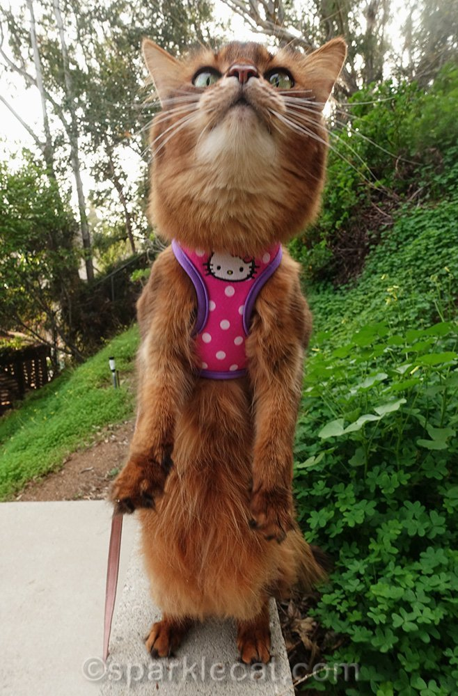 somali cat standing upright in Hello Kitty harness