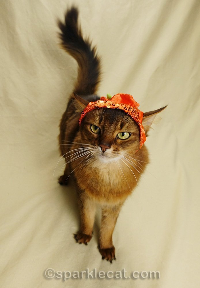 somali cat annoyed at pumpkin hat