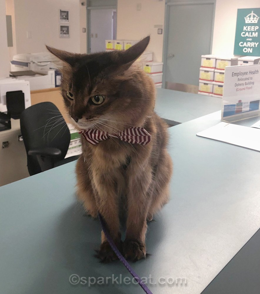somali cat on 8th floor of St. Vincent Medical Center