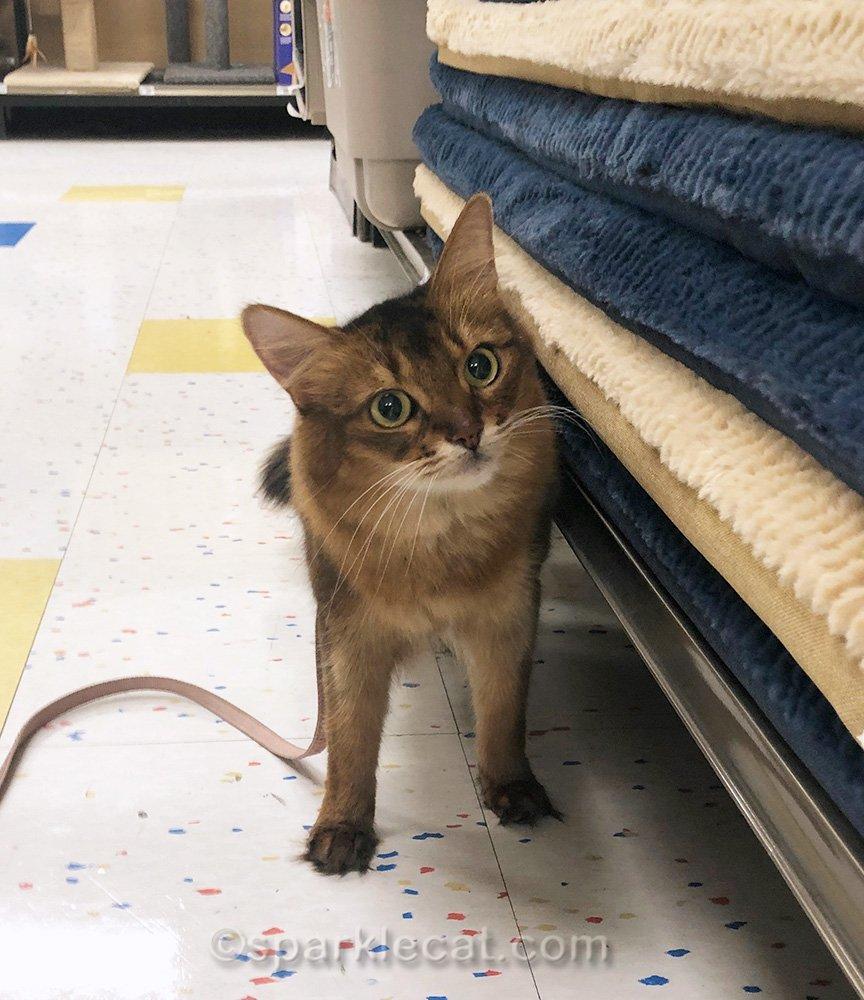 somali cat at pet store