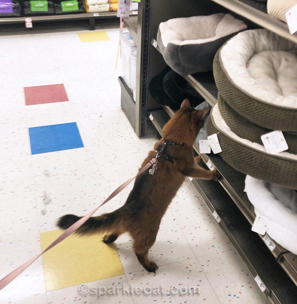 somali cat browsing through cat beds at pet store