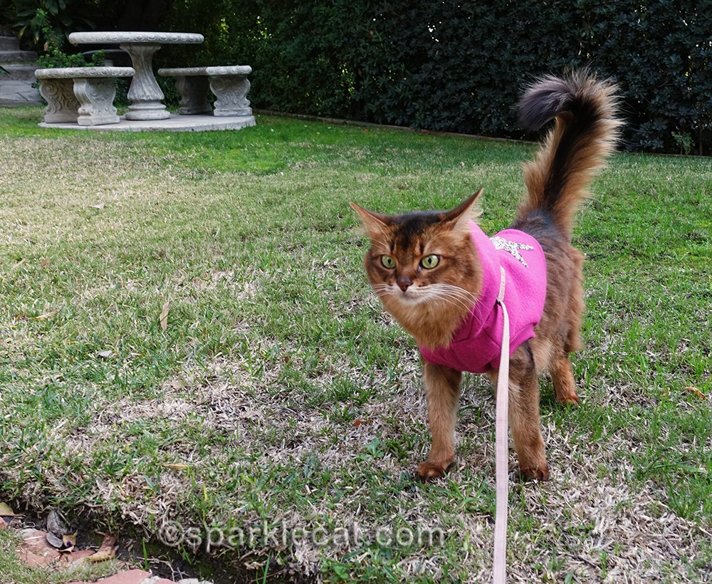 somali cat searches for bird killer