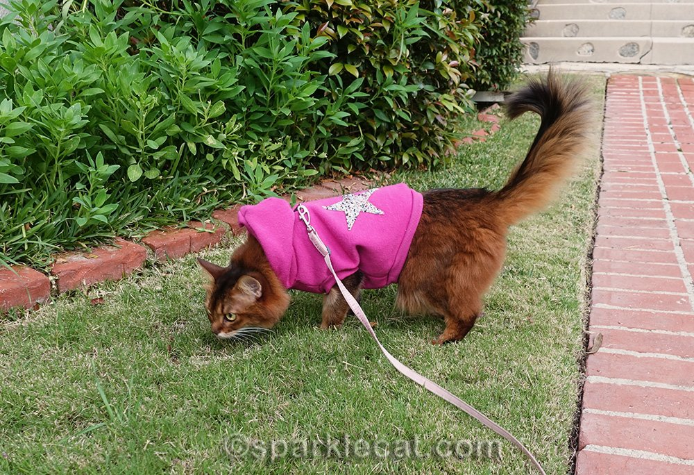 somali cat sniffing around for evidence