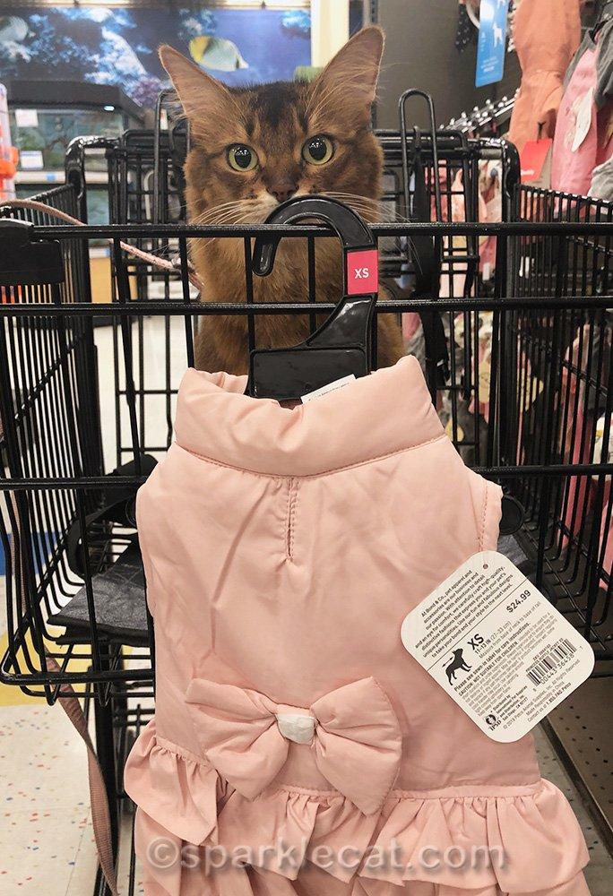 somali cat looking at puffy pink jacket