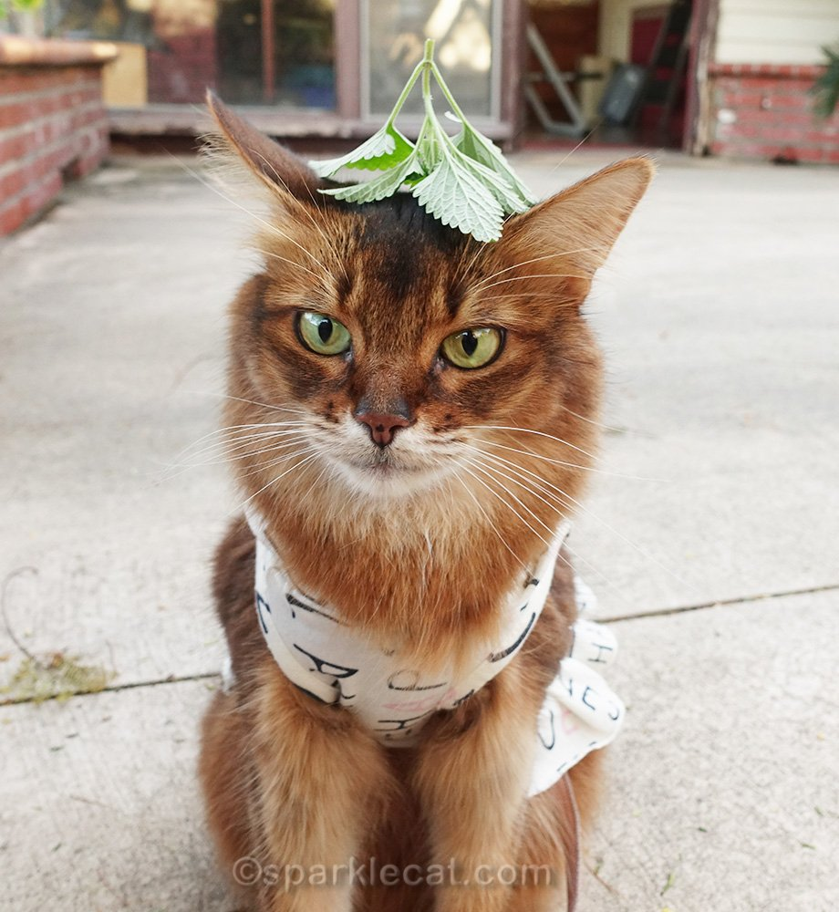 Somali cat with sprig of catnip on her head. Again.