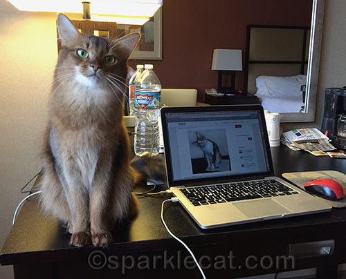Somali cat at hotel room desk with Macbook Pro