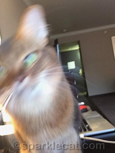 blurry somali cat selfie