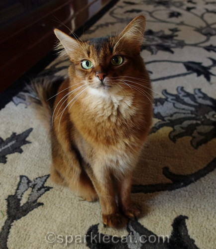somali cat sitting pretty for Change a Pet's Life Day