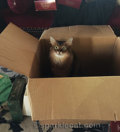 somali cat sitting in big box meant for Christmas ornaments