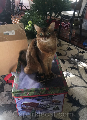 somali cat with packed boxes containing christmas ornaments