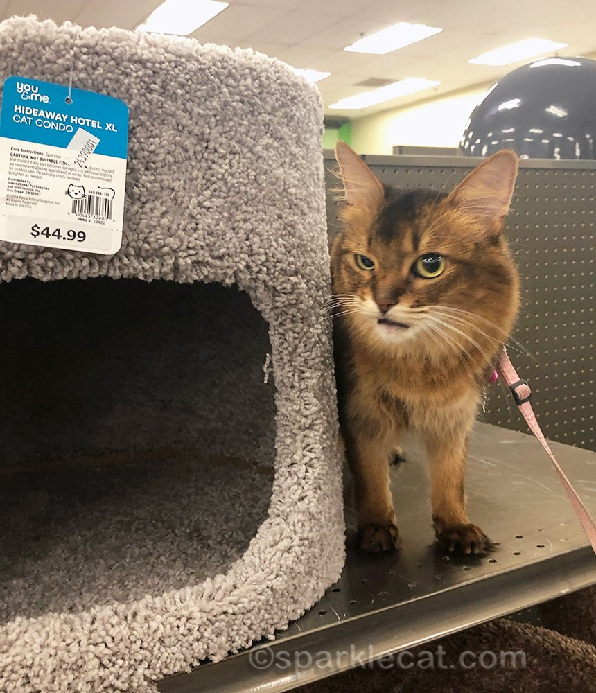 somali cat by cat condo at pet store, making face