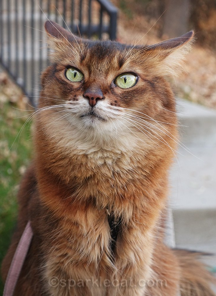 somali cat with airplane ears