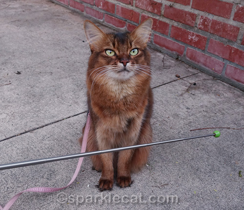 somali cat with pointer used as barrier