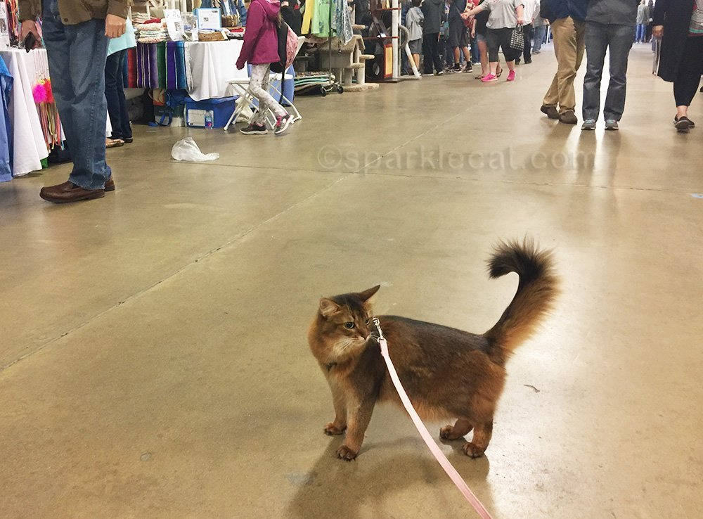 somali cat out for a walk at the San Diego Cat Show