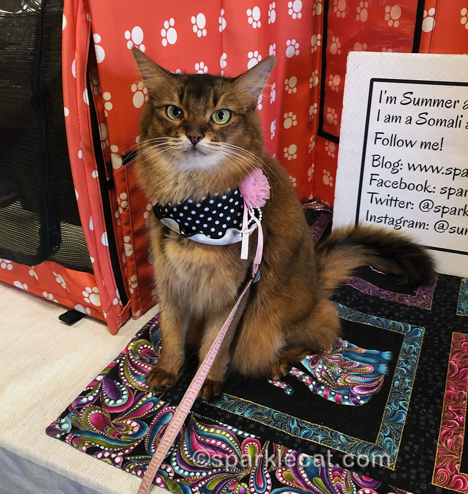 somali cat in traveling scarf during cat show setting up