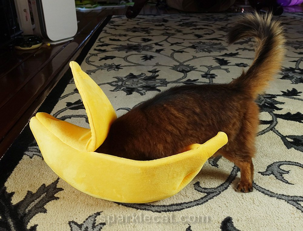 somali cat trying to get into banana boat cat bed
