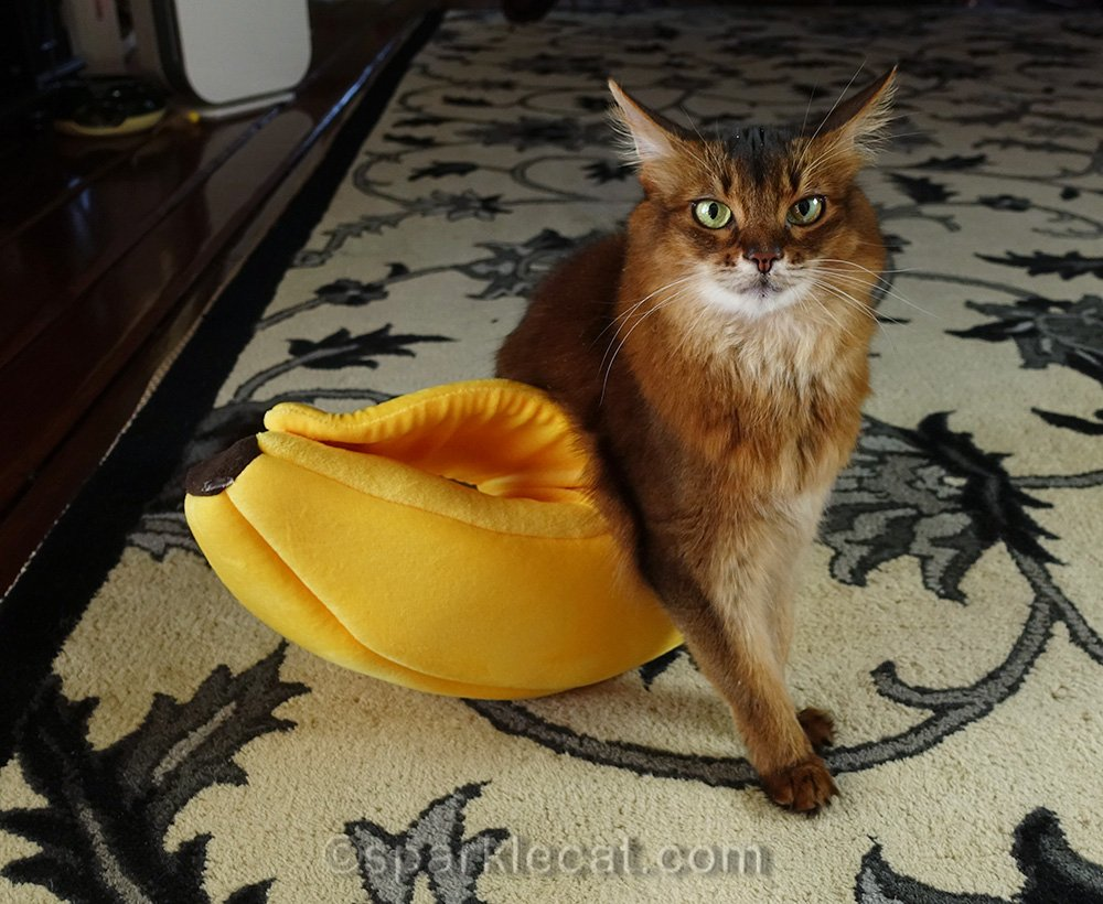 somali cat a little flummoxed about being too big for cat bed