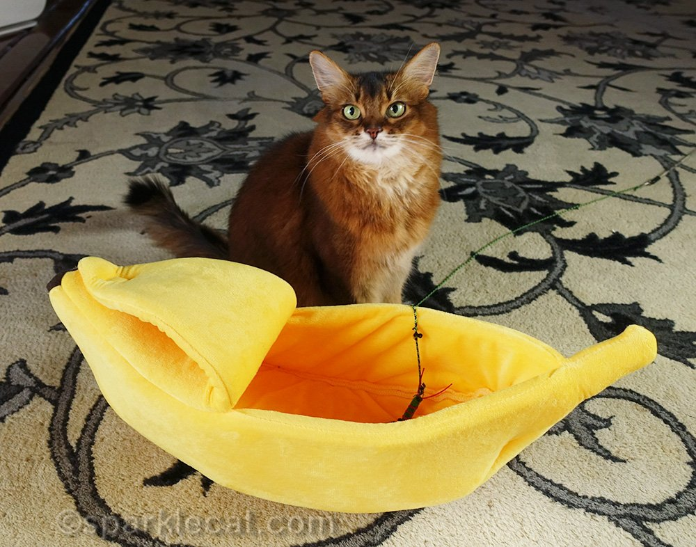 somali cat after putting cat toy in bed