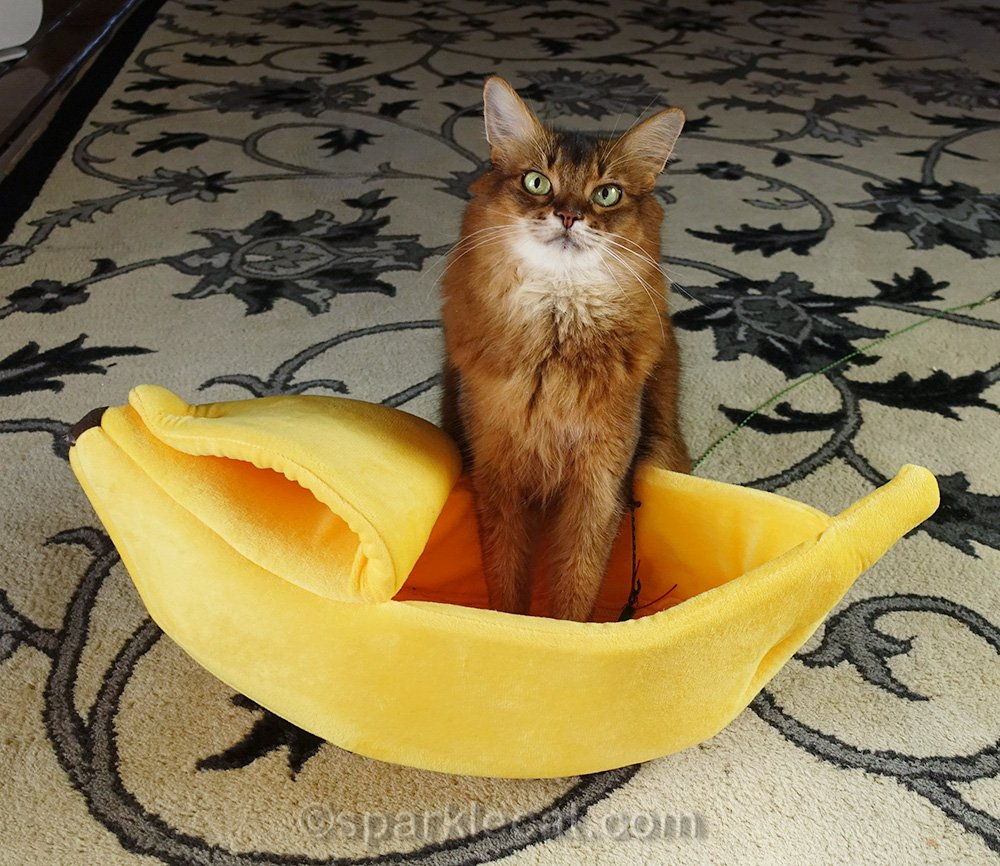 somali cat with front paws in banana boat cat bed