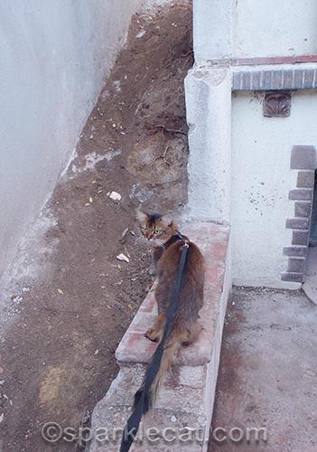 somali cat looking at wall construction