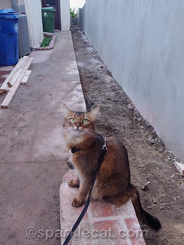 Somali cat inspecting concrete work