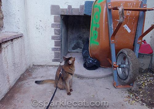 Somali cat inspecting a wheelbarrow