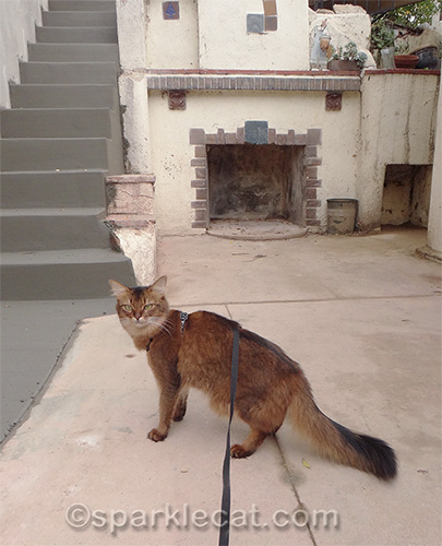 Somali cat in front of freshly poured steps.