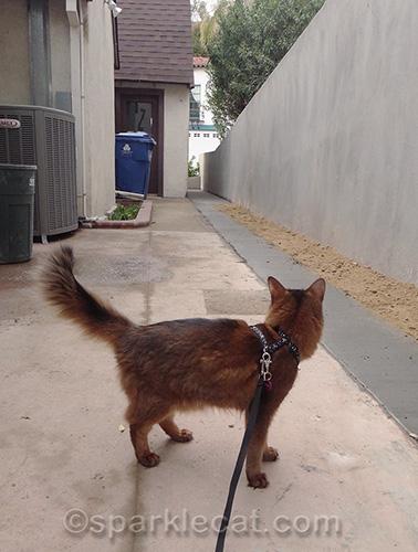 Somali cat inspects concrete work