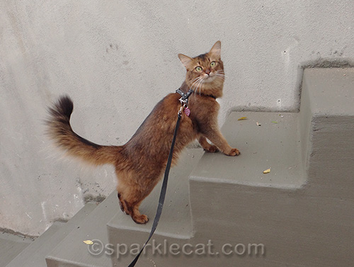 Somali cat on freshly poured steps