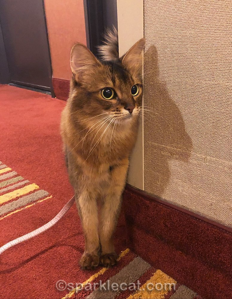 Somali cat on leash in hotel hallway