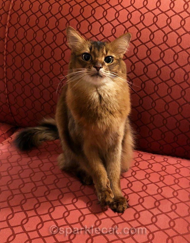 somali cat sitting on hotel sofa