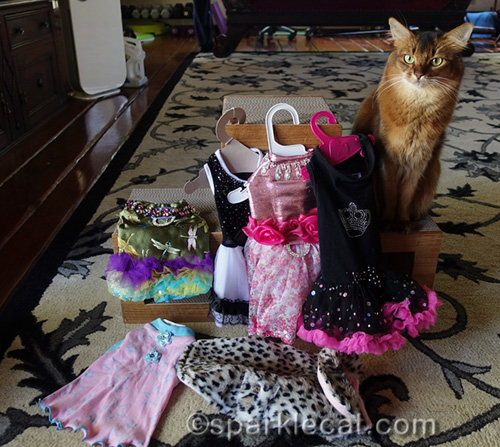 somali cat with fancy outfits for San Diego Cat Show