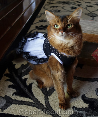 somali cat wearing black and white tulle dress