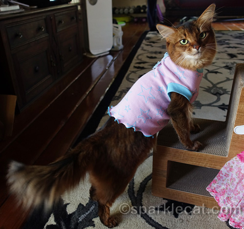 somali cat wearing pretty pink cat t-shirt