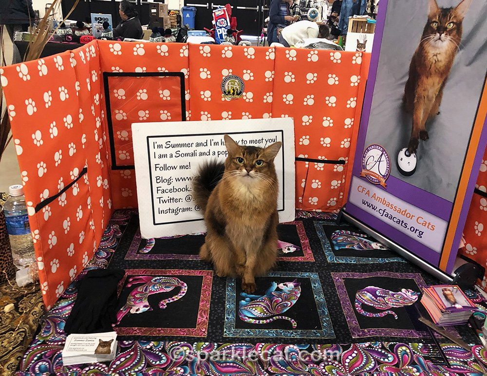 somali cat at her sixth san diego cat show