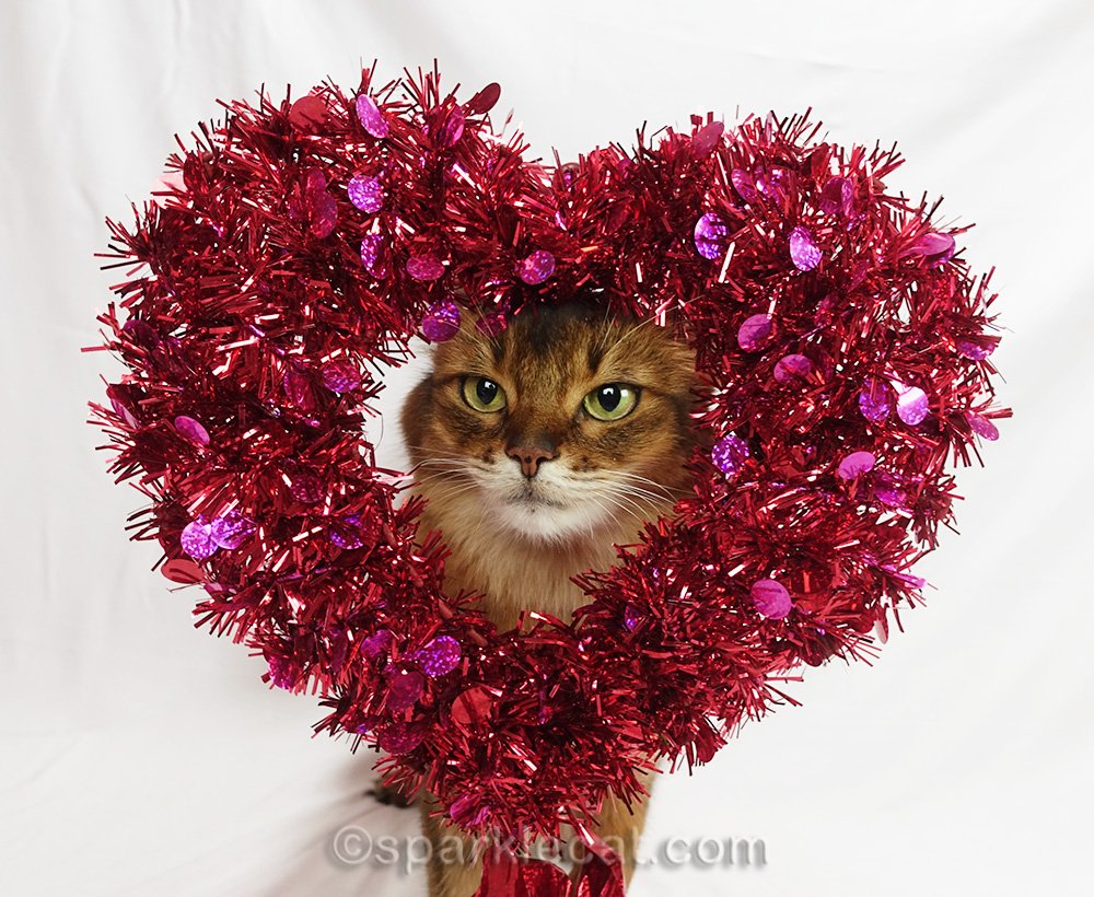 somali cat putting her head through the decorative heart