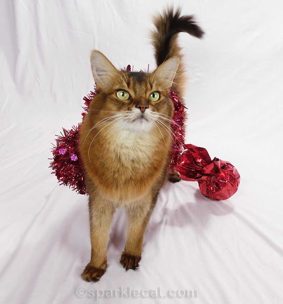 somali cat, caught in decorative heart, asking for treats
