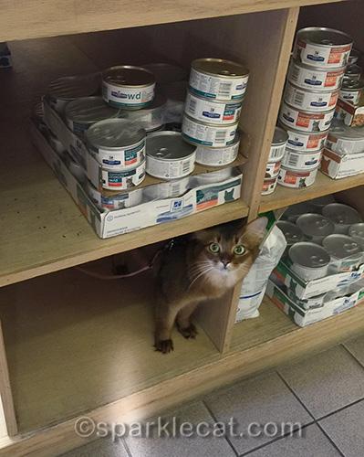 Somali cat at veterinary clinic shop