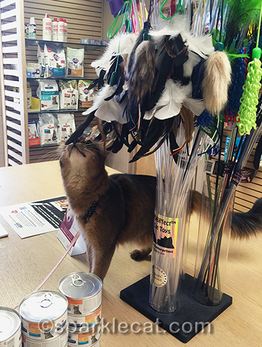 Somali cat explores the cat toys at the veterinary clinic shop