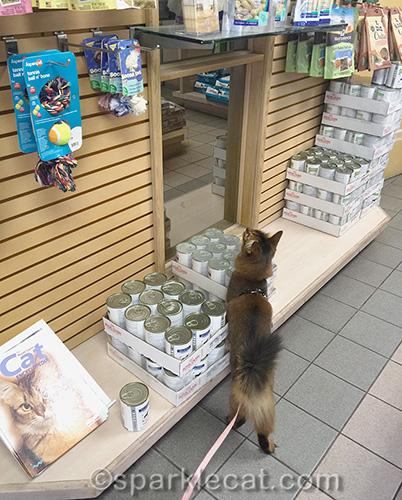Somali cat explores the veterinary clinic shop