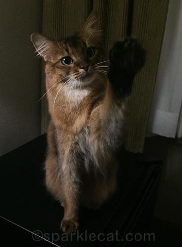 somali cat waiving good-bye
