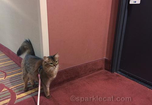somali cat on leash in hotel corridor